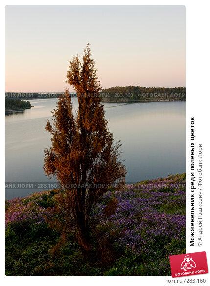 Можжевельник среди полевых цветов, фото № 283160, снято 3 июня 2007 г. (c) Андрей Пашкевич / Фотобанк Лори
