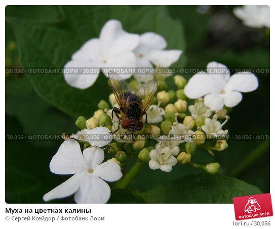 Муха на цветках калины, фото № 30056, снято 7 июня 2006 г. (c) Сергей Ксейдор / Фотобанк Лори
