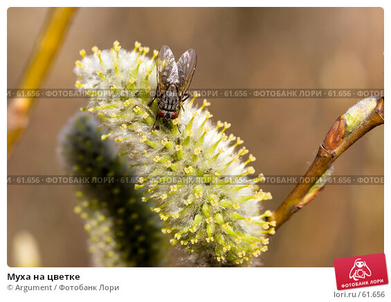 Купить «Муха на цветке», фото № 61656, снято 14 апреля 2007 г. (c) Argument / Фотобанк Лори
