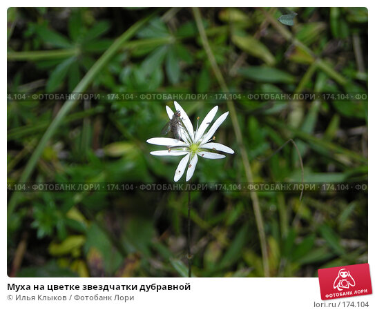 Муха на цветке звездчатки дубравной, фото № 174104, снято 3 октября 2007 г. (c) Илья Клыков / Фотобанк Лори
