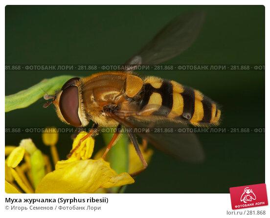 Муха журчалка (Syrphus ribesii), фото № 281868, снято 30 августа 2006 г. (c) Игорь Семенов / Фотобанк Лори