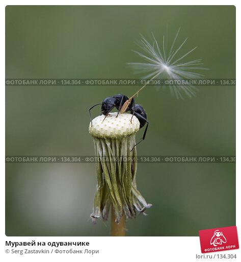 Купить «Муравей на одуванчике», фото № 134304, снято 2 июля 2006 г. (c) Serg Zastavkin / Фотобанк Лори