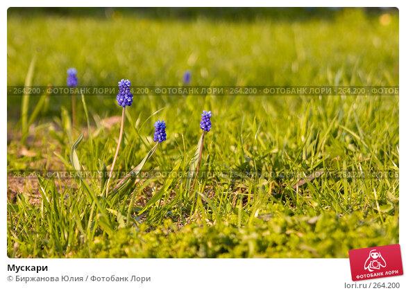 Мускари, фото № 264200, снято 26 апреля 2008 г. (c) Биржанова Юлия / Фотобанк Лори
