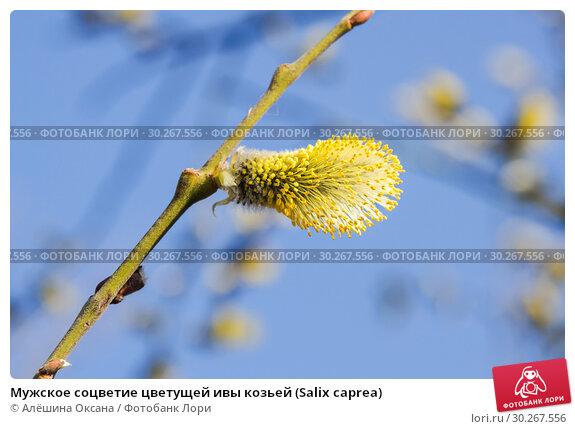 Купить «Мужское соцветие цветущей ивы козьей (Salix caprea)», фото № 30267556, снято 12 апреля 2016 г. (c) Алёшина Оксана / Фотобанк Лори
