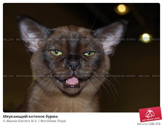 Мяукающий котенок бурма, фото № 246216, снято 8 апреля 2007 г. (c) Akunia-Gerrero N.V. / Фотобанк Лори