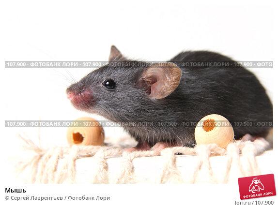 Мышь, фото № 107900, снято 23 сентября 2007 г. (c) Сергей Лаврентьев / Фотобанк Лори