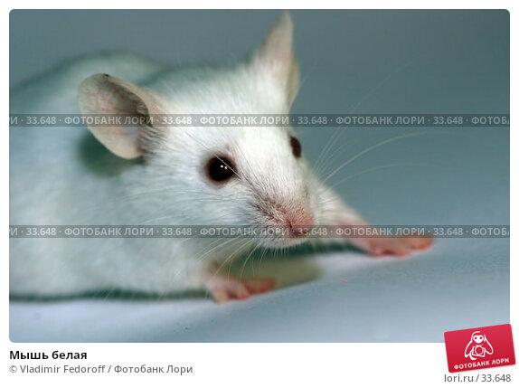 Купить «Мышь белая», фото № 33648, снято 17 апреля 2007 г. (c) Vladimir Fedoroff / Фотобанк Лори