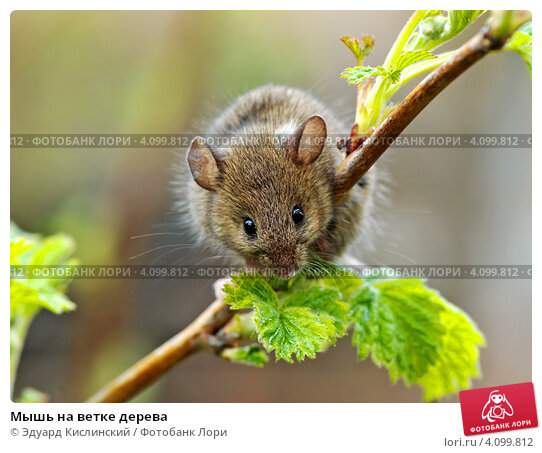 Купить «Мышь на ветке дерева», фото № 4099812, снято 25 апреля 2007 г. (c) Эдуард Кислинский / Фотобанк Лори