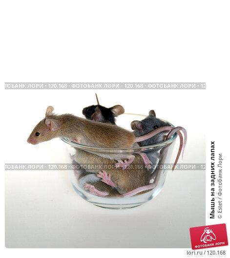 Мышь на задних лапах, фото № 120168, снято 26 мая 2017 г. (c) Estet / Фотобанк Лори