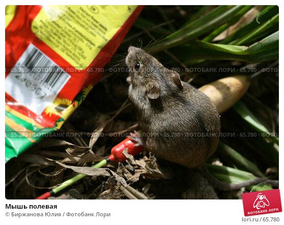 Мышь полевая, фото № 65780, снято 22 июля 2007 г. (c) Биржанова Юлия / Фотобанк Лори