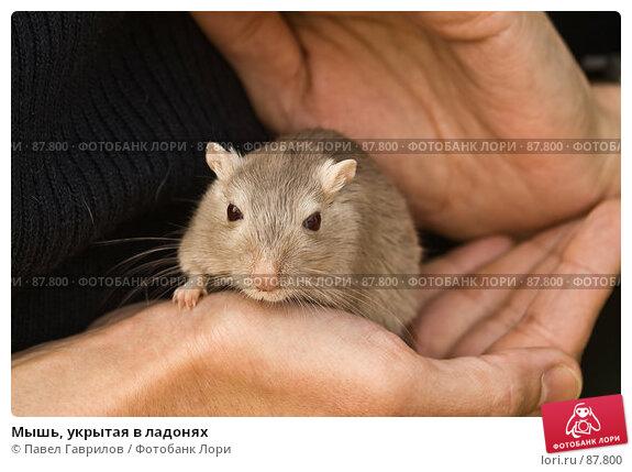 Купить «Мышь, укрытая в ладонях», фото № 87800, снято 23 сентября 2007 г. (c) Павел Гаврилов / Фотобанк Лори