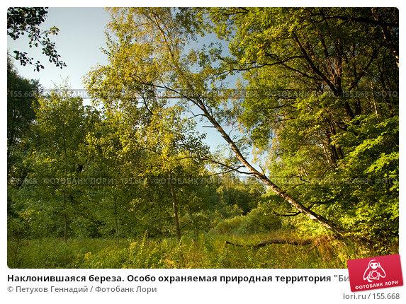 """Наклонившаяся береза. Особо охраняемая природная территория """"Битцевский лес"""", фото № 155668, снято 4 сентября 2007 г. (c) Петухов Геннадий / Фотобанк Лори"""