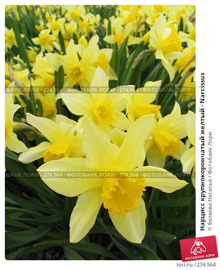 Нарцисс крупнокорончатый желтый - Narcissus, фото № 274564, снято 24 мая 2006 г. (c) Беляева Наталья / Фотобанк Лори