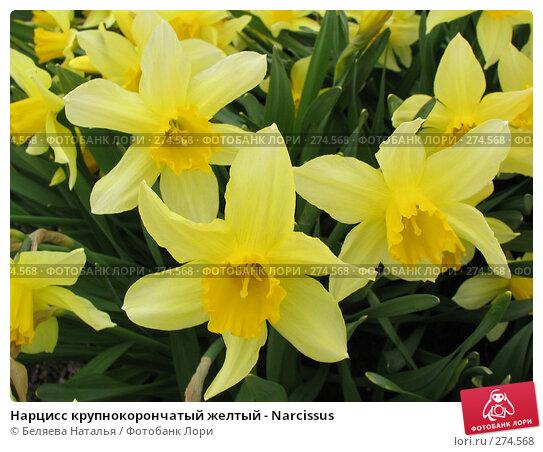 Нарцисс крупнокорончатый желтый - Narcissus, фото № 274568, снято 24 мая 2006 г. (c) Беляева Наталья / Фотобанк Лори