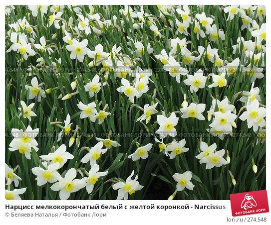 Нарцисс мелкокорончатый белый с желтой коронкой - Narcissus, фото № 274548, снято 31 мая 2006 г. (c) Беляева Наталья / Фотобанк Лори