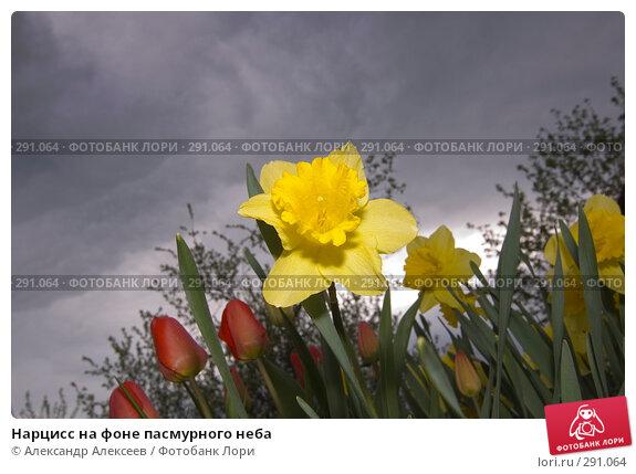 Нарцисс на фоне пасмурного неба, эксклюзивное фото № 291064, снято 19 мая 2007 г. (c) Александр Алексеев / Фотобанк Лори