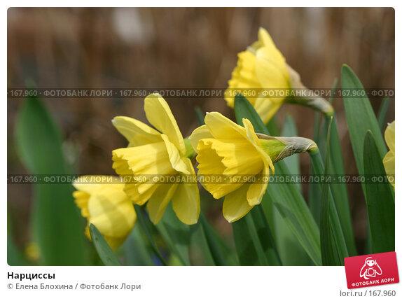 Нарциссы, фото № 167960, снято 27 апреля 2007 г. (c) Елена Блохина / Фотобанк Лори
