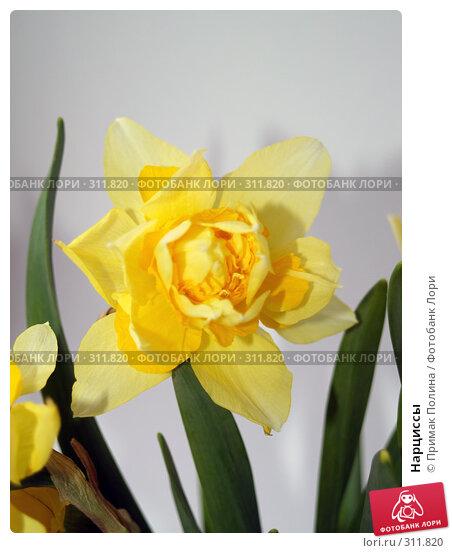 Нарциссы, фото № 311820, снято 14 апреля 2008 г. (c) Примак Полина / Фотобанк Лори