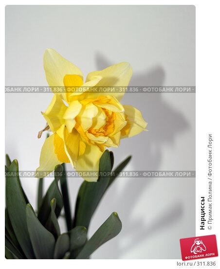 Нарциссы, фото № 311836, снято 14 апреля 2008 г. (c) Примак Полина / Фотобанк Лори