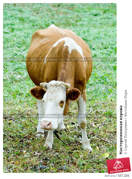 Купить «Настороженная корова», фото № 187288, снято 31 октября 2007 г. (c) Сергей Попсуевич / Фотобанк Лори