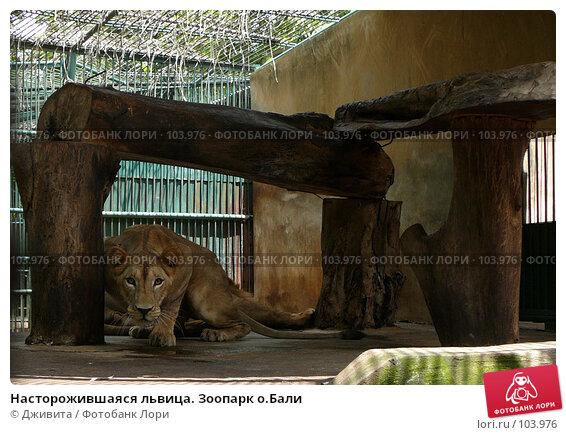 Насторожившаяся львица. Зоопарк о.Бали, фото № 103976, снято 26 июля 2017 г. (c) Дживита / Фотобанк Лори