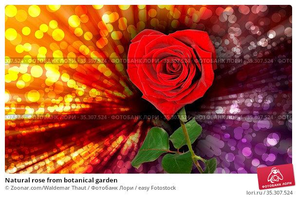 Natural rose from botanical garden. Стоковое фото, фотограф Zoonar.com/Waldemar Thaut / easy Fotostock / Фотобанк Лори