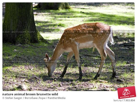 Купить «nature animal brown brunette wild», фото № 7903804, снято 23 февраля 2019 г. (c) PantherMedia / Фотобанк Лори