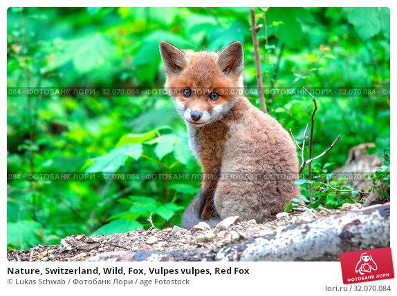 Nature, Switzerland, Wild, Fox, Vulpes vulpes, Red Fox. Стоковое фото, фотограф Lukas Schwab / age Fotostock / Фотобанк Лори