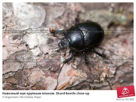 Навозный жук крупным планом. Shard-beetle close-up, фото № 61952, снято 5 июля 2007 г. (c) Argument / Фотобанк Лори