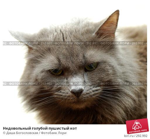 Недовольный голубой пушистый кот, фото № 292992, снято 19 апреля 2008 г. (c) Даша Богословская / Фотобанк Лори