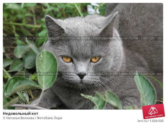 Купить «Недовольный кот», эксклюзивное фото № 1029520, снято 8 августа 2009 г. (c) Наталья Волкова / Фотобанк Лори