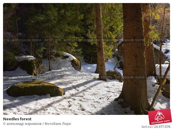 Купить «Needles forest», фото № 24977076, снято 12 января 2017 г. (c) александр жарников / Фотобанк Лори