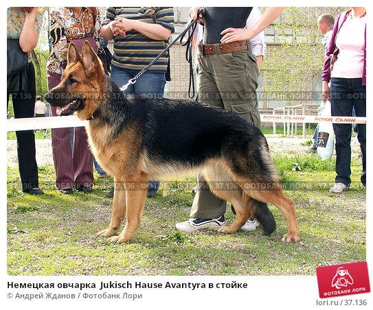 Немецкая овчарка  Jukisch Hause Avantyra в стойке, фото № 37136, снято 30 апреля 2007 г. (c) Андрей Жданов / Фотобанк Лори