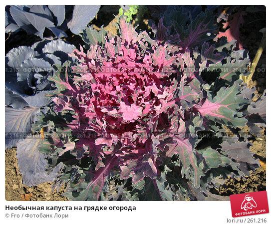 Купить «Необычная капуста на грядке огорода», фото № 261216, снято 1 октября 2005 г. (c) Fro / Фотобанк Лори