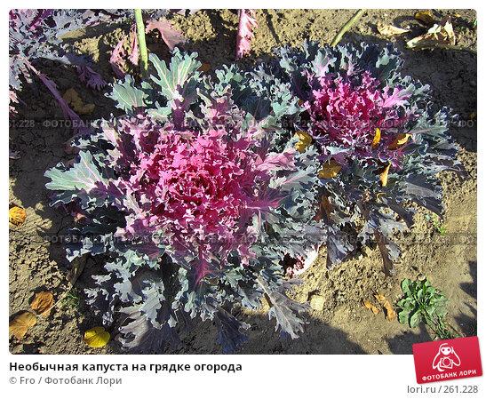 Необычная капуста на грядке огорода, фото № 261228, снято 1 октября 2005 г. (c) Fro / Фотобанк Лори