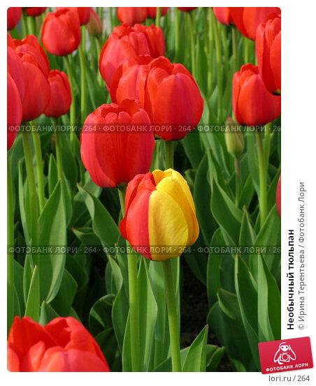 Необычный тюльпан, фото № 264, снято 10 мая 2004 г. (c) Ирина Терентьева / Фотобанк Лори