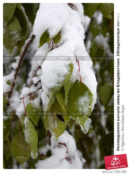 Купить «Неожиданное начало зимы во Владивостоке. Обледенелые листья», фото № 102756, снято 26 апреля 2018 г. (c) TigerFox / Фотобанк Лори