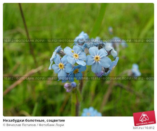 Незабудки болотные, соцветие, фото № 10812, снято 17 мая 2004 г. (c) Вячеслав Потапов / Фотобанк Лори