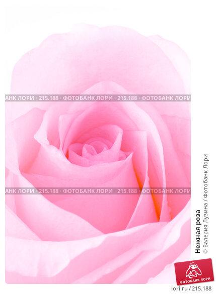 Нежная роза, фото № 215188, снято 1 марта 2008 г. (c) Валерия Потапова / Фотобанк Лори