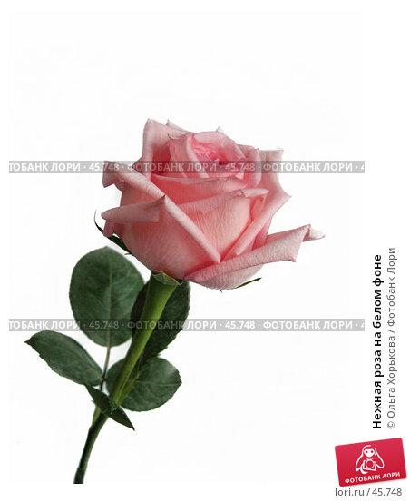 Нежная роза на белом фоне, фото № 45748, снято 21 апреля 2007 г. (c) Ольга Хорькова / Фотобанк Лори