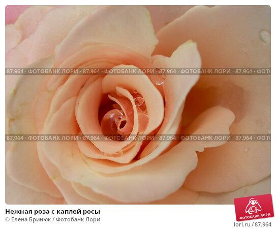 Нежная роза с каплей росы, фото № 87964, снято 14 июля 2007 г. (c) Елена Бринюк / Фотобанк Лори