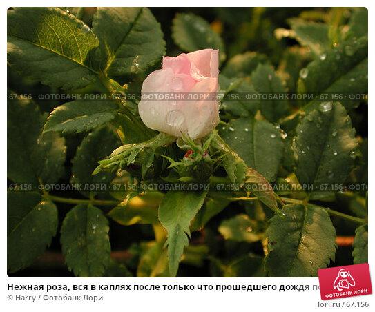 Купить «Нежная роза, вся в каплях после только что прошедшего дождя под лучами заходящего солнца», фото № 67156, снято 22 июня 2004 г. (c) Harry / Фотобанк Лори