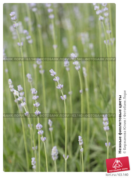 Нежные фиолетовые цветы, фото № 63140, снято 22 июня 2007 г. (c) Биржанова Юлия / Фотобанк Лори