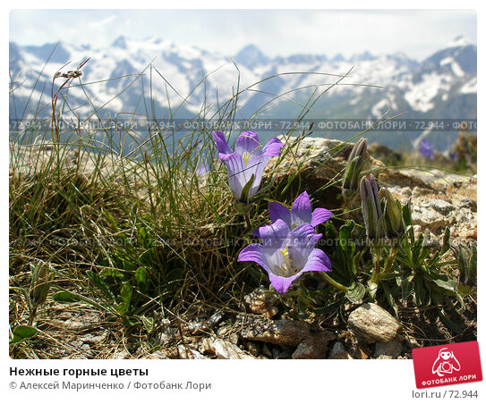 Нежные горные цветы, фото № 72944, снято 22 июня 2006 г. (c) Алексей Маринченко / Фотобанк Лори