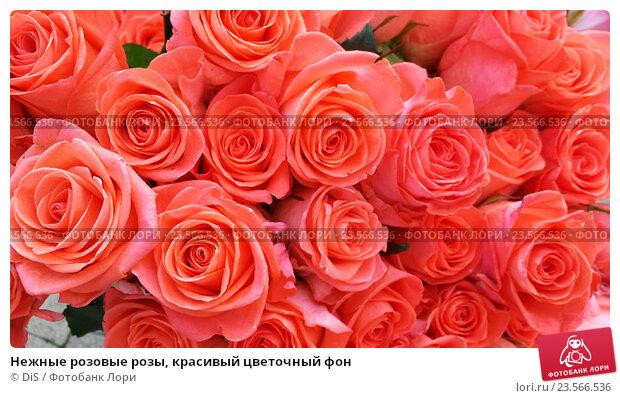 Купить «Нежные розовые розы, красивый цветочный фон», фото № 23566536, снято 6 мая 2016 г. (c) DiS / Фотобанк Лори