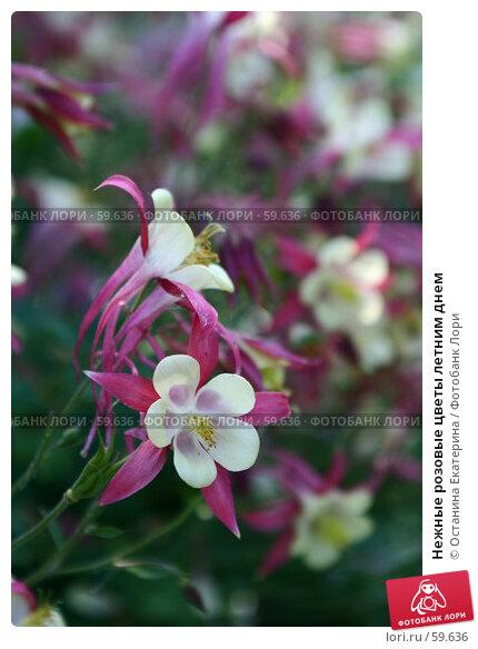 Нежные розовые цветы летним днем, фото № 59636, снято 30 июня 2007 г. (c) Останина Екатерина / Фотобанк Лори