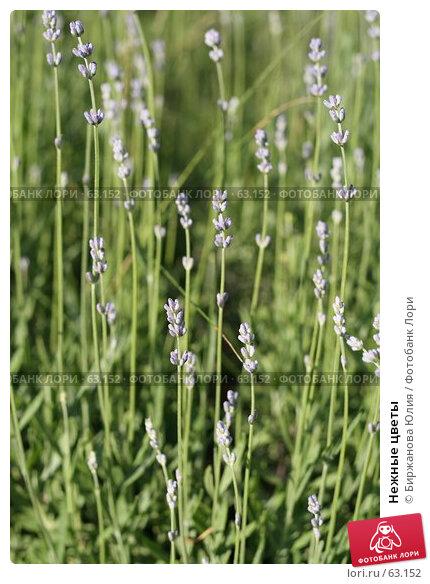 Нежные цветы, фото № 63152, снято 22 июня 2007 г. (c) Биржанова Юлия / Фотобанк Лори