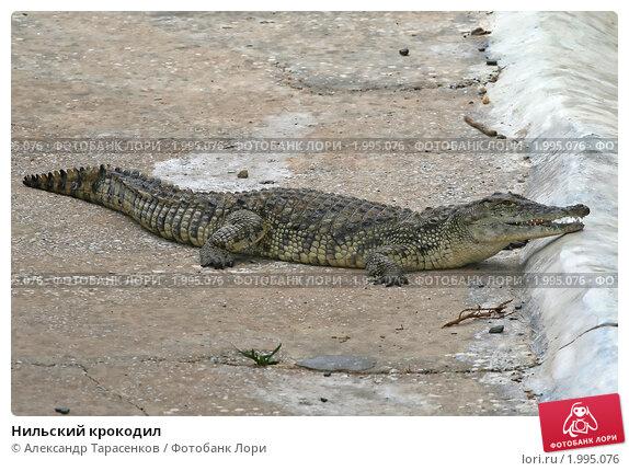 Купить «Нильский крокодил», эксклюзивное фото № 1995076, снято 15 сентября 2010 г. (c) Александр Тарасенков / Фотобанк Лори