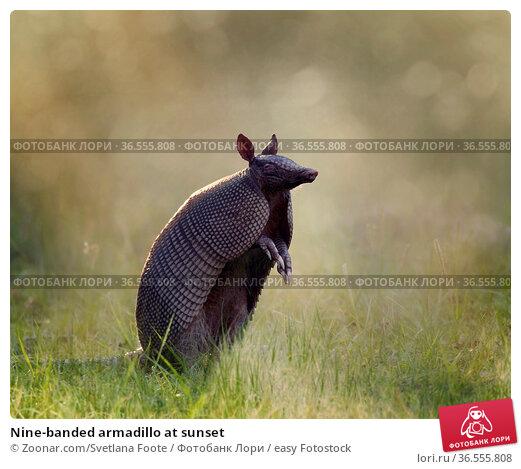 Nine-banded armadillo at sunset. Стоковое фото, фотограф Zoonar.com/Svetlana Foote / easy Fotostock / Фотобанк Лори