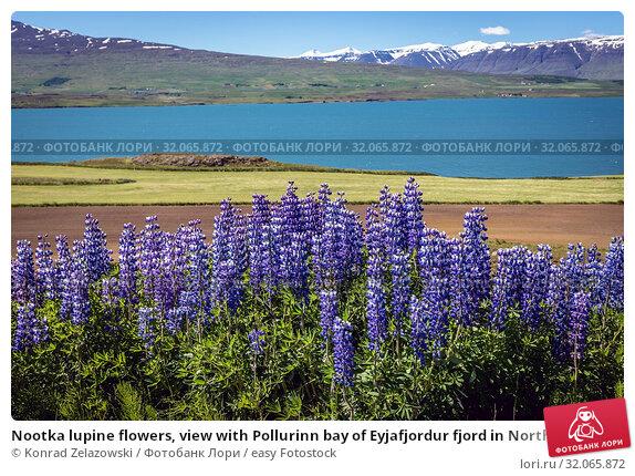 Nootka lupine flowers, view with Pollurinn bay of Eyjafjordur fjord in Northern Iceland. Стоковое фото, фотограф Konrad Zelazowski / easy Fotostock / Фотобанк Лори